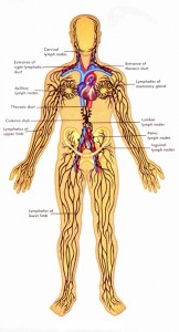 Manual lymphatic drainage - the lymphatic system