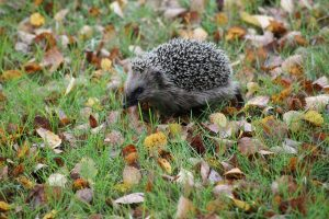 garden musings - hedgehogs are amazing